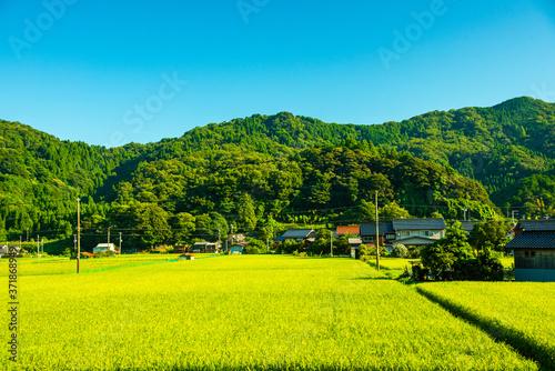 兵庫県・山陰地方の稲田 Billede på lærred