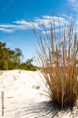 Dry reeds on beach dunes under a blue sky at Assateague Island National Seashore, Maryland