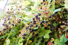 Wild Blackberries Growing In A...