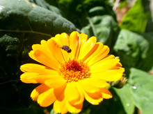 Large Yellow And Orange Daisy Flower With Bee Flying On Top Collecting Honey With Green Background In Garden