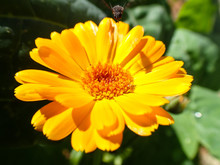 Flying Bee On Yellow Daisy Flower