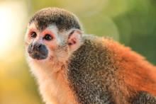 Squirrel Monkey Looking Straig...