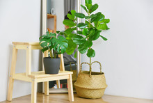 Artificial Plant, Fiddle Leaf Fig Tree And Monstera Planted In Black Pot On Room Corner, Indoor Tropical Houseplant For Home And Living Room Interior.