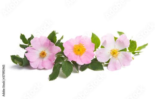 Fototapeta rosehip flower isolated obraz