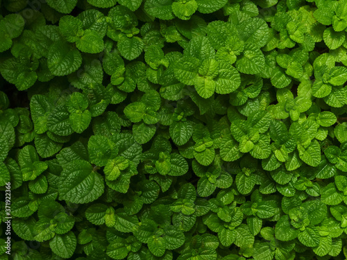 blur background of freshness green mint leavs and shrubs in garden / thai organi Billede på lærred