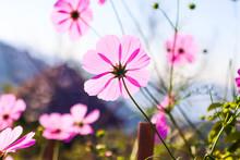 Field Of Pink Cosmos Flowers B...