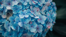 Close Up Blue Hydrangea Macrop...