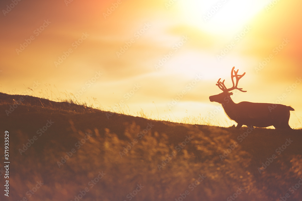 Silhouette of deer against a sunset sky. Reindeer walk on the hill in Northern Norway