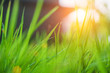 Blurred grass green background, close up pictures of leaves in a tropical garden, blurred green background, fresh green lawn with morning sun, lush green grass with morning sun