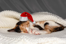 A Young, Charming Tricolor Cat In A Red Cap Santa's Is Sleeping On A Blanket. Close Up. Concept Of Care, Education, Training And Rearing Of Animals