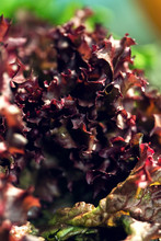 Close Up Fresh Red Lettuce In ...