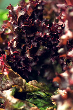 Organic Fresh Red Lettuce In Sunlight