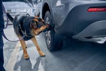 Drug Detection Dog Sniffing Car At Airport