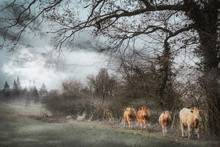 Cows Standing In Field During ...