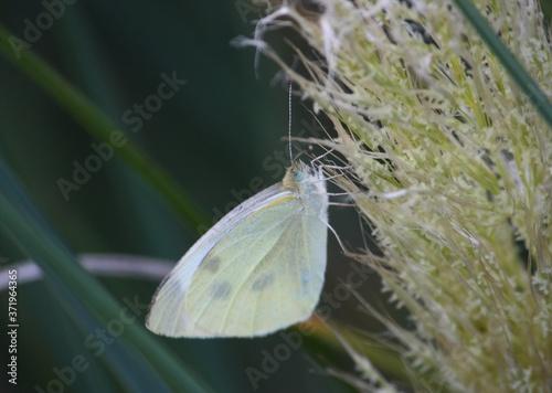 Schmetterling im Gegenlicht der Abendsonne