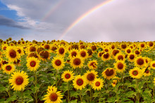 A Field With Bright Yellow Sunflowers And A Rainbow Above Them In The Sky. Harvesting.