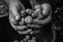Black And White Photo Of Old Man's Hands Holding Walnuts Harvested In Fall - Slovakia