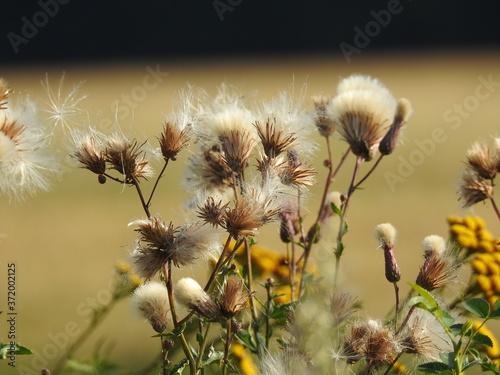 Fototapeta Oset (popłoch pospolity) - koszyczki puchatych nasion, tło - kolekcja 2  obraz