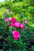 Small Shrub Rose Pink