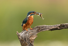 Female Common Kingfisher With ...