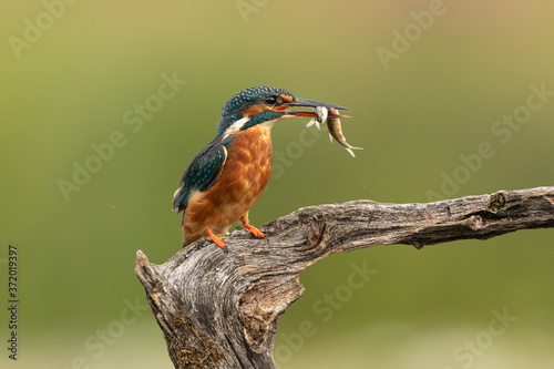 Photo Female Common Kingfisher with fish in beak perched on a branch with a green background
