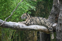 Clouded Leopard In The Tree