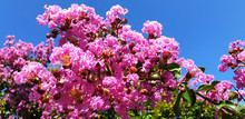 Pink Flowers Lagerstroemia Or ...