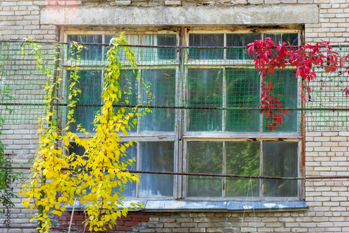 Fotografie, Obraz Old window in a brick wall, entwined with yellow and red ivy