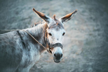 A Cute Grey House Sad Donkey With Long Ears And Brown Eyes Stands On A Leash On A Grey Background. Livestock.