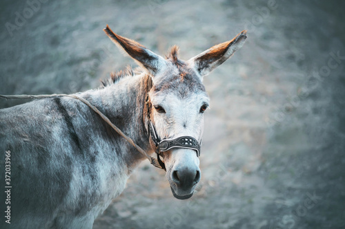Valokuvatapetti A cute grey house sad donkey with long ears and brown eyes stands on a leash on a grey background
