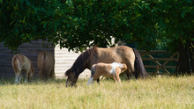 Shetland Pony's With Their Baby Playing And Drinking