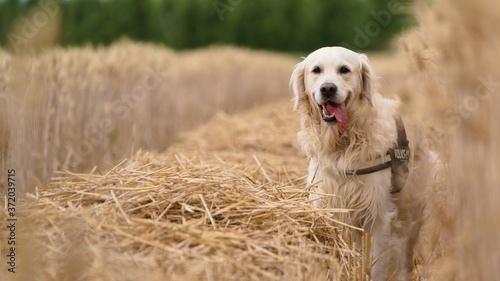 golden retriever dog in a grain field Fotobehang