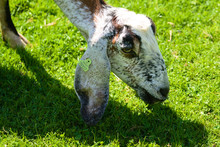 Sheep Eating Some Grass At A F...