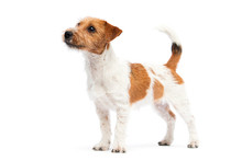 Dog Jack Russell Terrier Stands On A White Background