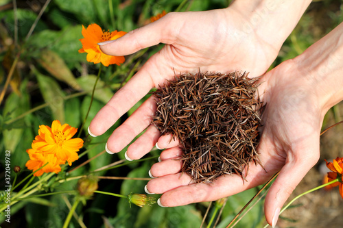 Fotografie, Obraz Hands holding cosmos seeds in heart shape with cosmos flowers in background