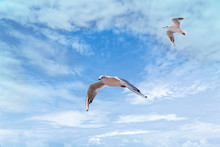 Flying Seagull On Blue Sky Clo...