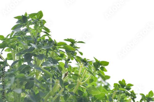 Bazylia drobnolistna - Ocimum basilicum