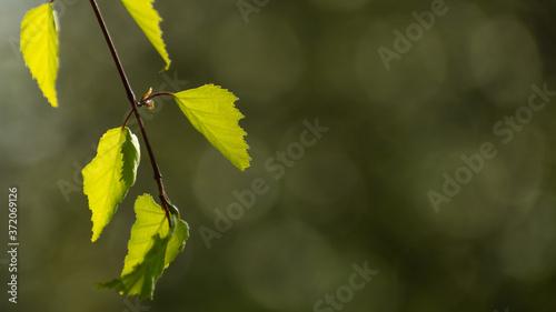listki brzozy w świetle Słońca - 372069126