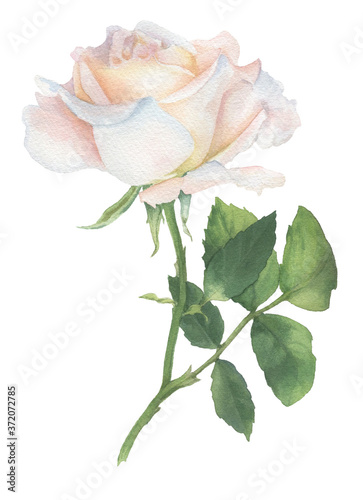Delicate rose painted with watercolor Fototapete