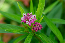 Close Up View Of Attractive Rosy Pink Flower Blossoms On An Uncultivated Swamp Milkweed Plant In A Natural Prairie Meadow