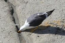 Black Headed Thirsty Gull