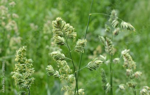 Foto Flowering Dactylis glomerata