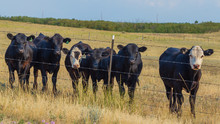 Black Angus Steers Graze All Summer Then Go To Market Auction