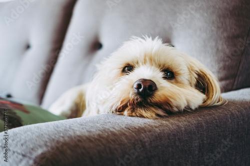 Petit chien beige couché sur le canapé dans la maison Fototapet
