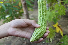 A Man Harvests Bitter Melon In...