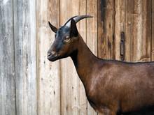 Goats Walk On The Farm