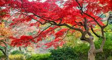 Red Japanese Maple Tree During Autumn Season, Japan