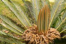 Cycas Revoluta Female Palm Tre...