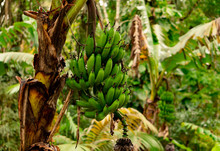 Banana Tree With Bunch Of Grow...