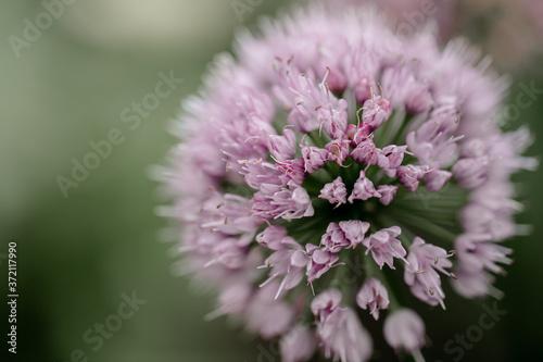 Fototapety, obrazy: macro of a Allium